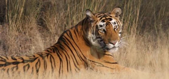 tiger-in-ranthambor